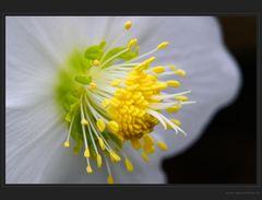 Das Wunder der Christrose