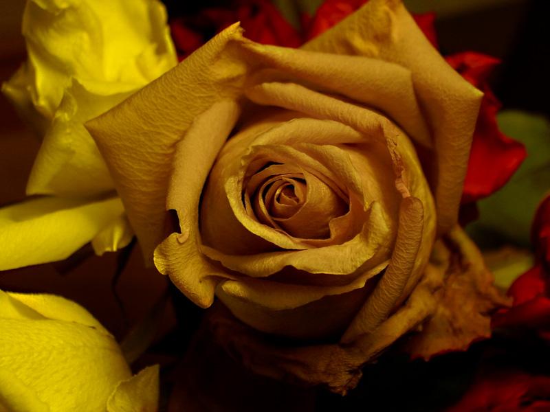 das Wunder Rose II