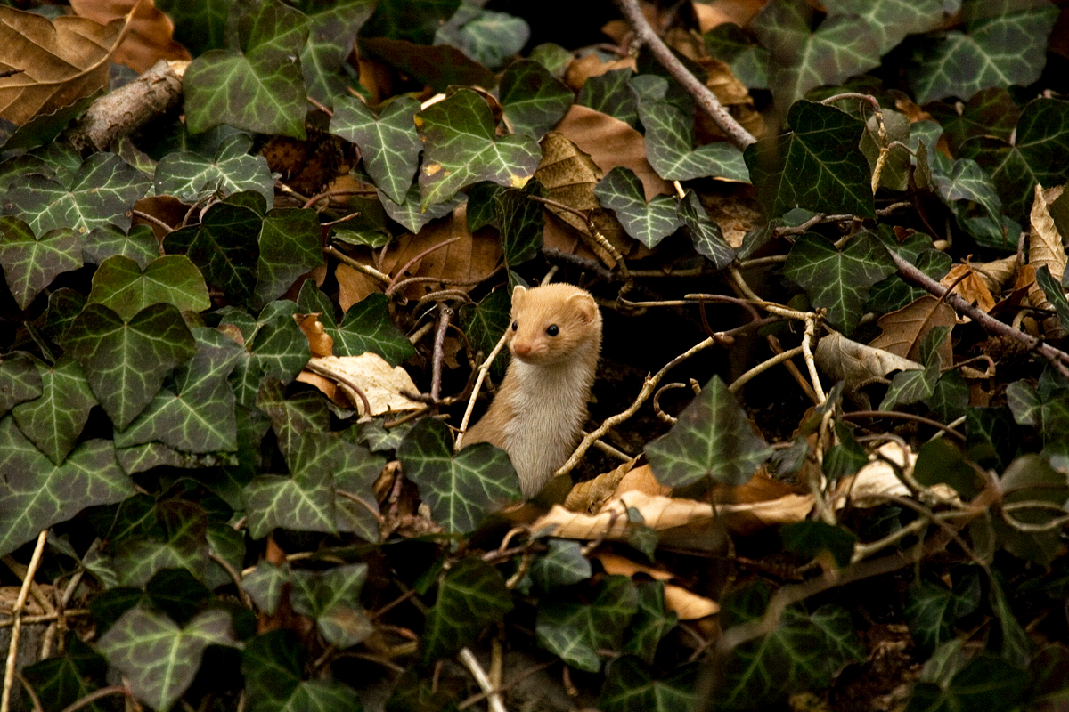 Das wuselige Mauswiesel - ein Dokufoto