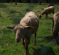 Dass Schafe immer schaf seien, halte ich für ein Gerücht!
