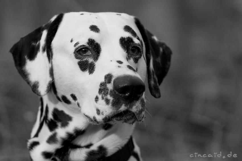 Dat Ollie - ein Dalmatiner II