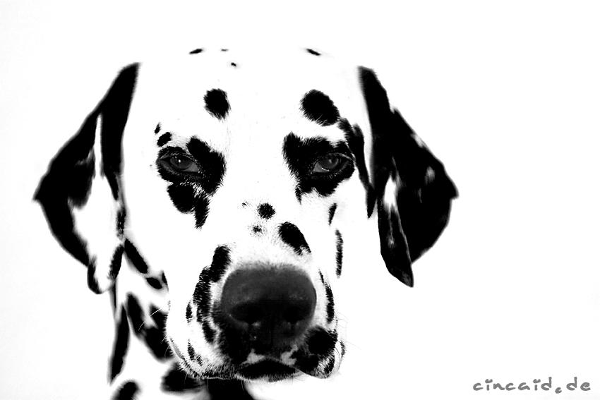 Dat Ollie - ein Dalmatiner VI