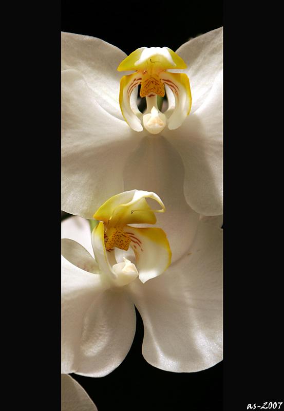 Dauerhaft blühende Orchideen :-)