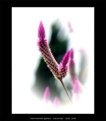 .:: Dazzling Purple White ::.