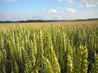 de blé en herbes