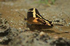 De la serie como pequeñas hadas en el bosque, o solo mariposas 2