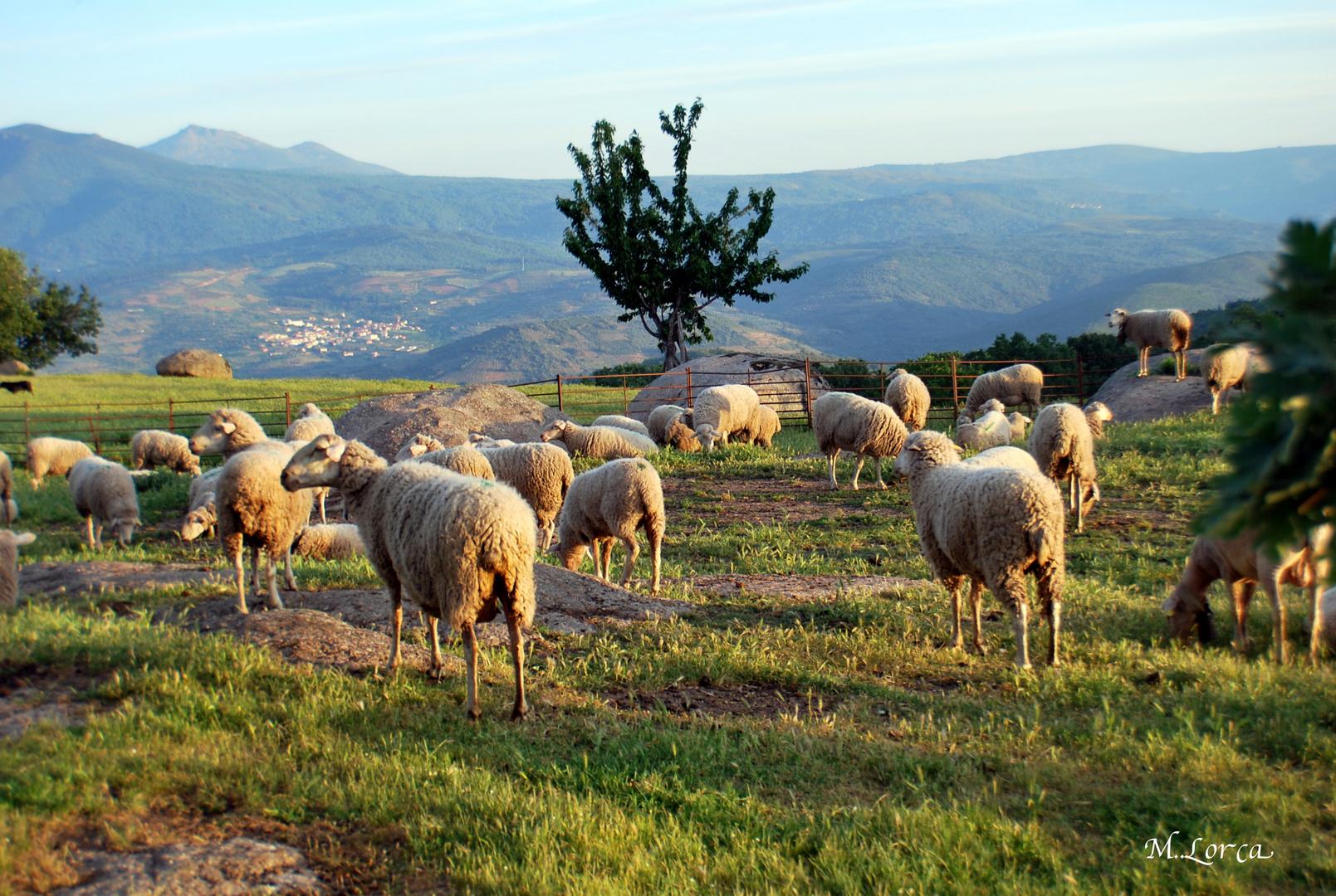 de mis paseos matutinos las ovejas de mi amigo Emilio