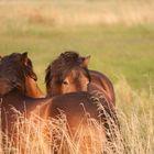 De vilde heste på Sydlangeland