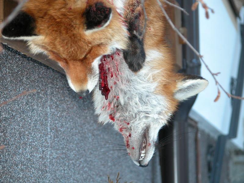 Dead Fox Hanging