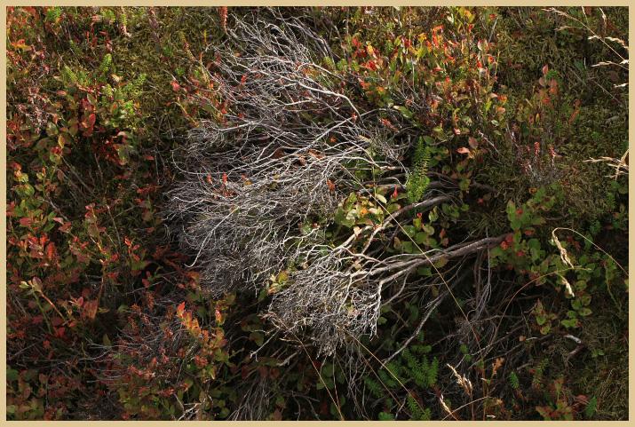 dead heather photo & image | landscape, moors
