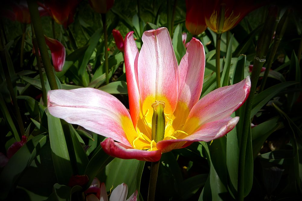 Deflorate tulip