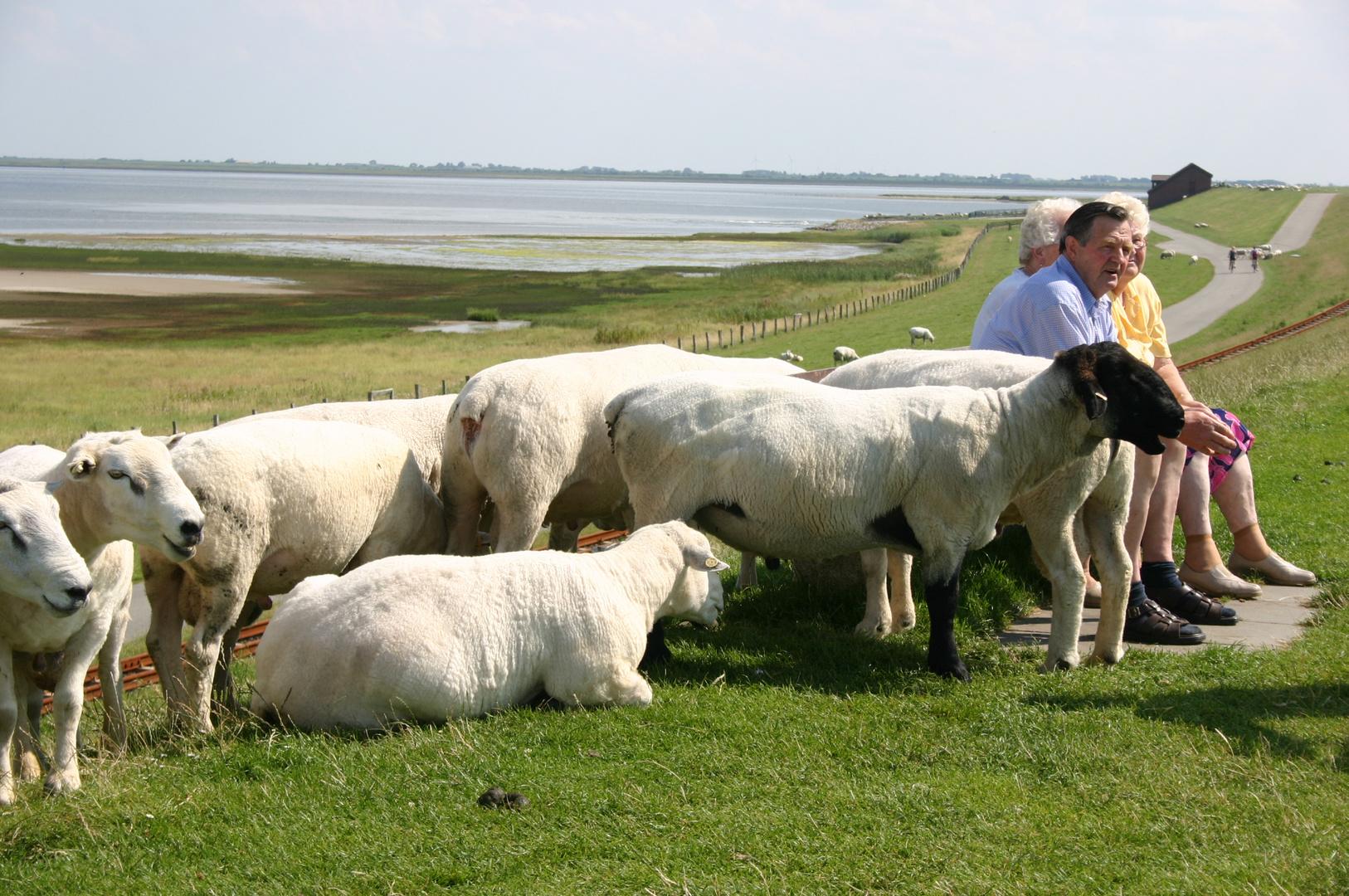 Deich - Schafe