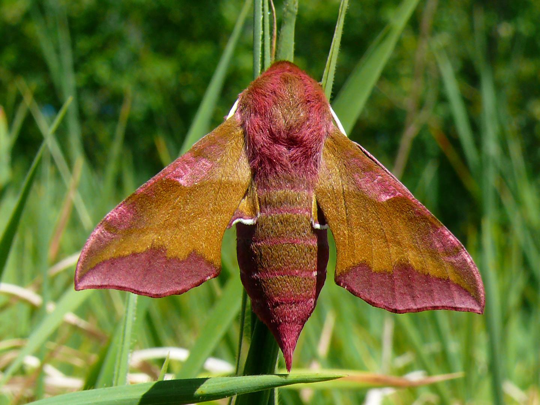 Deilephila porcellus - Harz