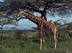 dèjeuner d une girafe rèticulèe, kenya, samburu