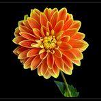Dekorative Dahlie `Maxime`   - 5 -