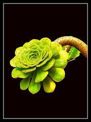 Dekorative Grünpflanze