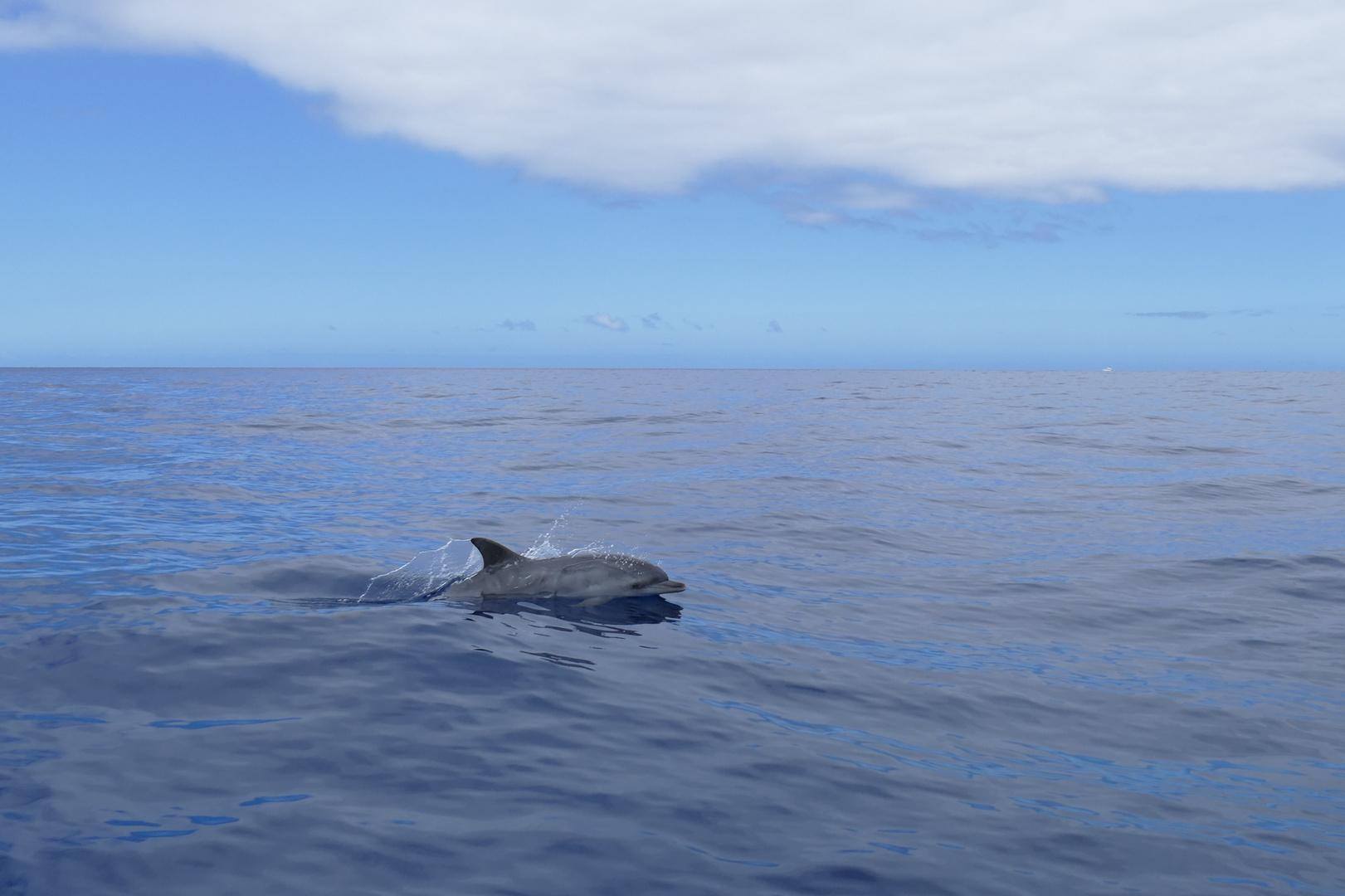 Delfin westlich von La Palma/Tazacorte