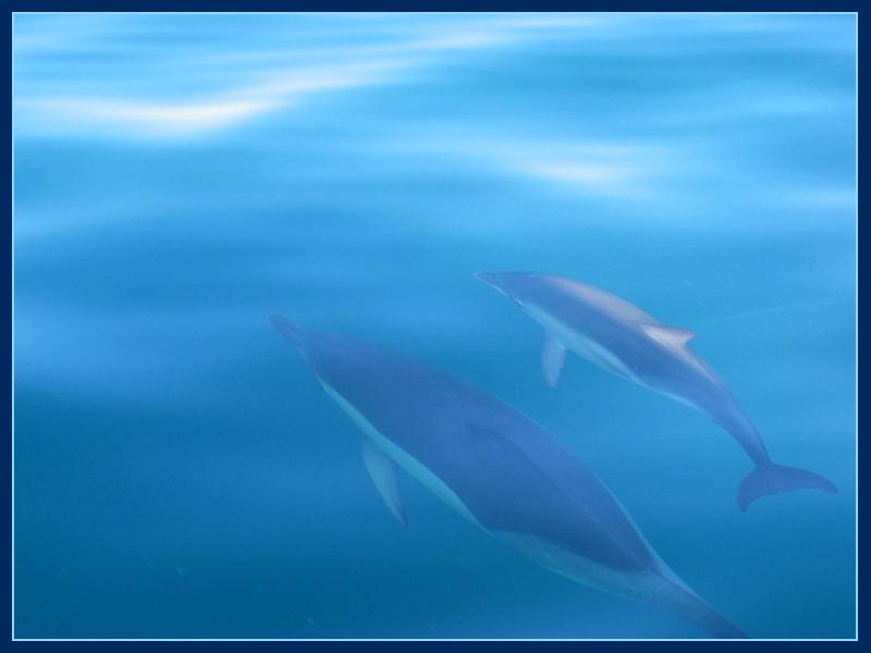 Delfine beim Whale Watching in der Straße von Gibraltar