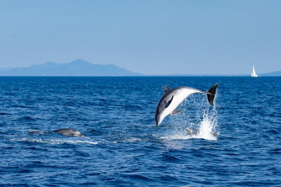 Delfine vor der Kroatischen Küste