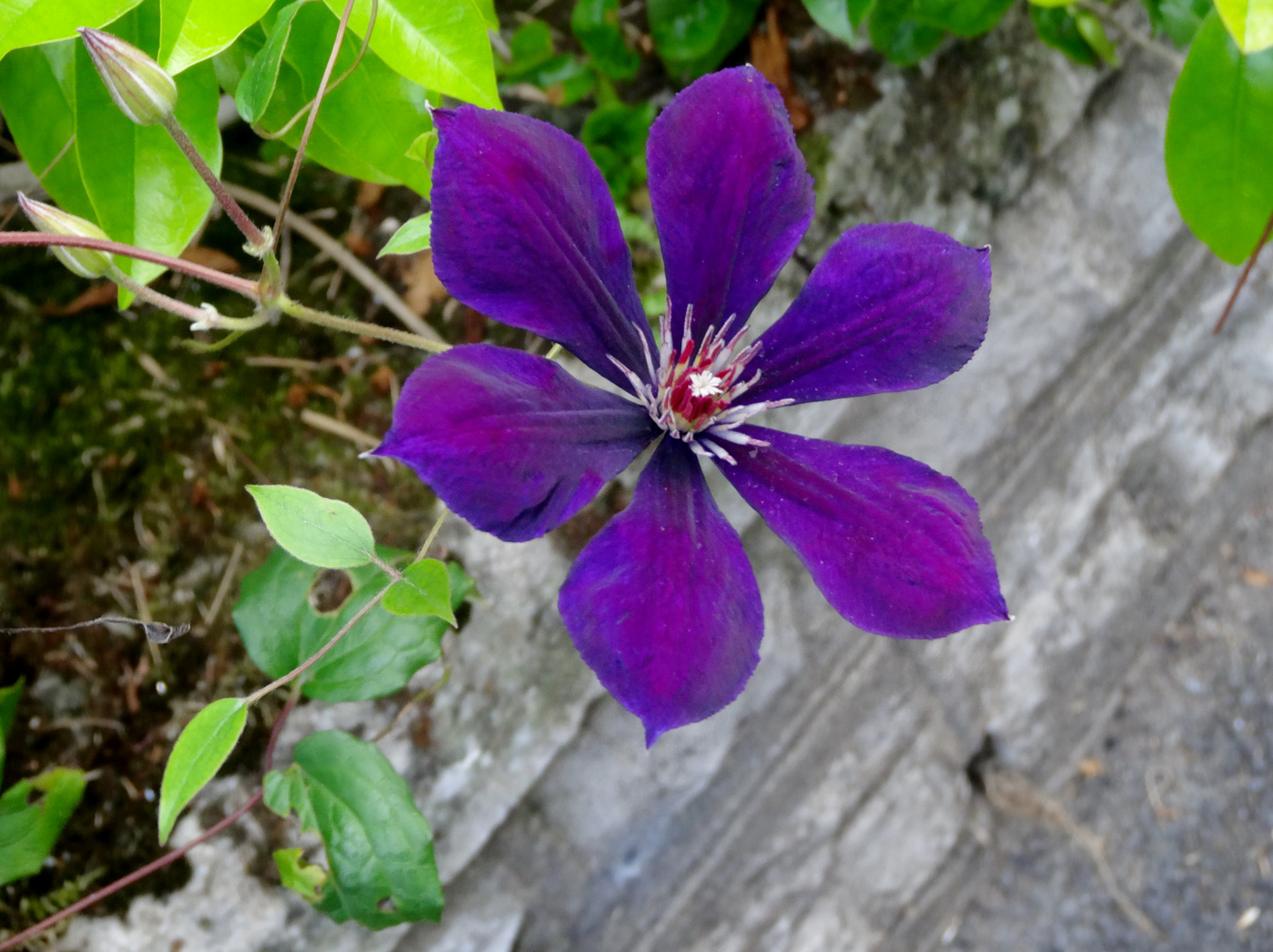 Délicat violet
