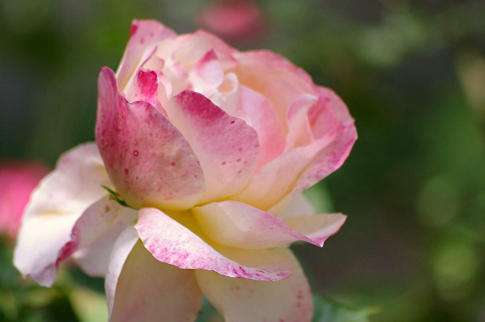 Délicieuse fleur, dont bientot les pétales s'envoleront dans le vent...
