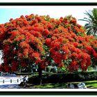 DELONIX REGIA TREE-NETANYA