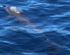 Delphin an Costa Ricas Pazifikküste