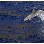 Delphin-Springer