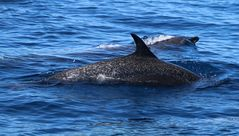 Delphine an Costa Ricas Pazifikküste