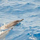 Delphine vor Hawaii
