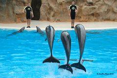 Delphinshow im Loro´Parque Puerto de la Cruz