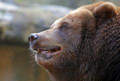 Dem Bären ganz nahe gekommen...