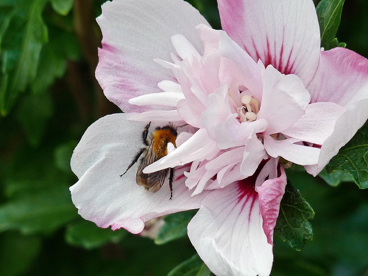 dem Bienchen gefällt die Hibiskusblüte auch
