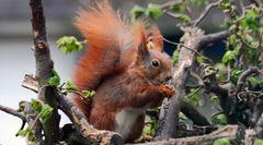 Dem Eichhörnchen ins Gesicht geschaut