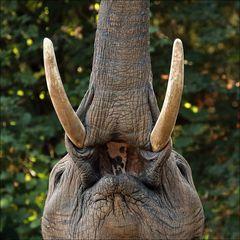 Dem Elefanten in´s Maul geschaut...