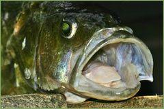 Dem Fisch ins Maul geschaut...
