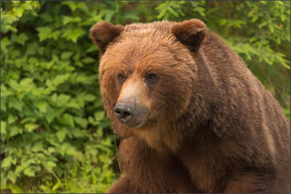 dem grizzly ganz nah