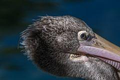 Dem Pelikans ins Auge geschaut