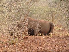 Dem ruhenden Nashorn-Bullen etwas näher gerückt.