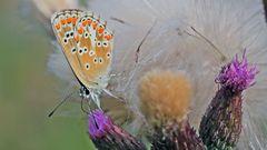 Dem weiblichen Hauhechelbläuling. Polyommatus icarus  sehr gut ins Gesicht geschaut