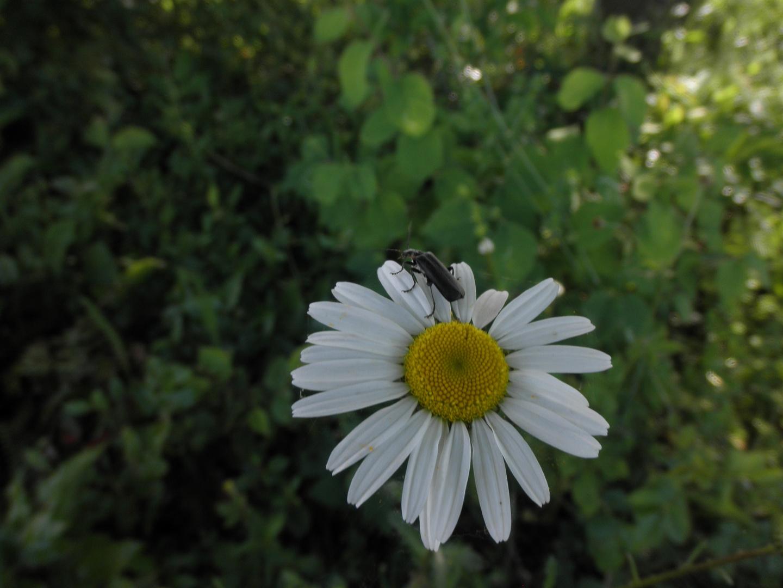 den Bock(käfer) zum Gärtner machen...