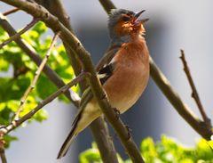 Den Frühling rufen ( Buchfink)