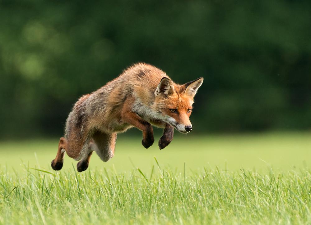 Den jagenden Fuchs...