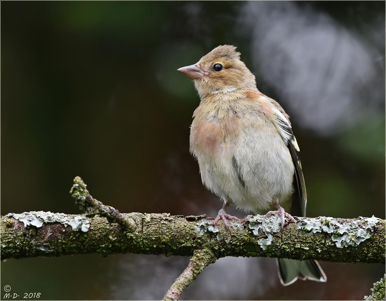 Den jungen Buchfink ... Foto & Bild   tiere, wildlife, wild ...