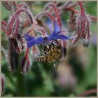 ...den kennen die Bienchen sehr gut.....