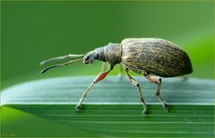 Den kleinen Rüsselkäfer wagte ich nicht zu bestimmen...