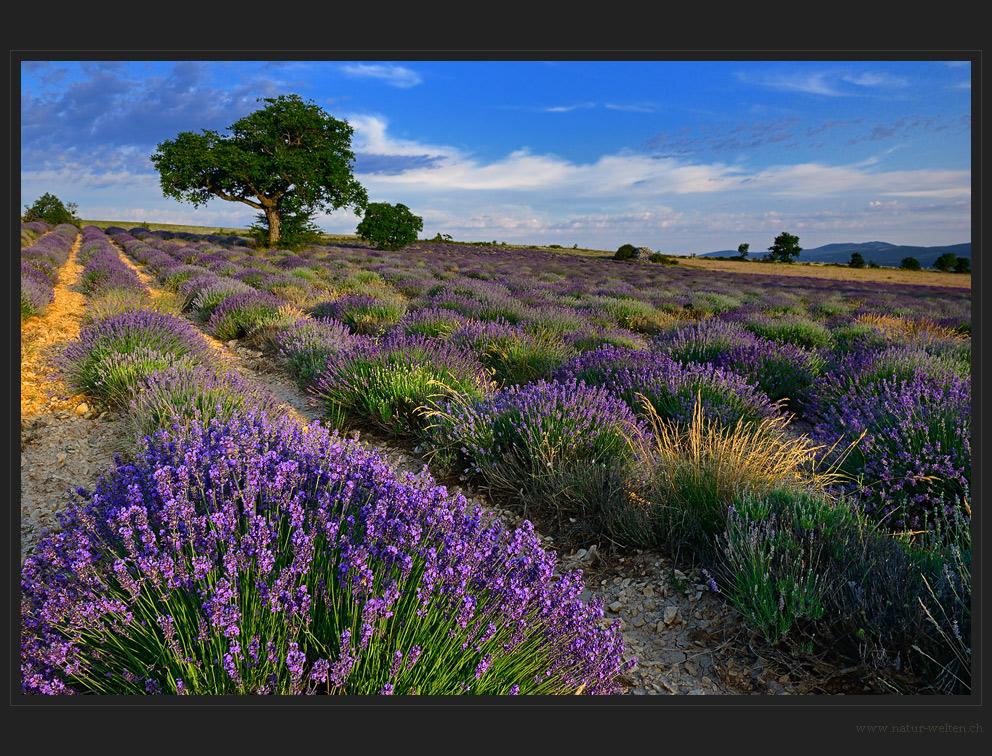 Den Lavendel gefunden...