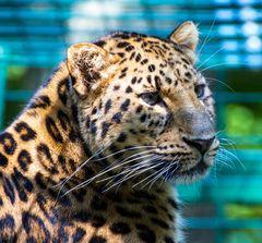 den Leopard will man...