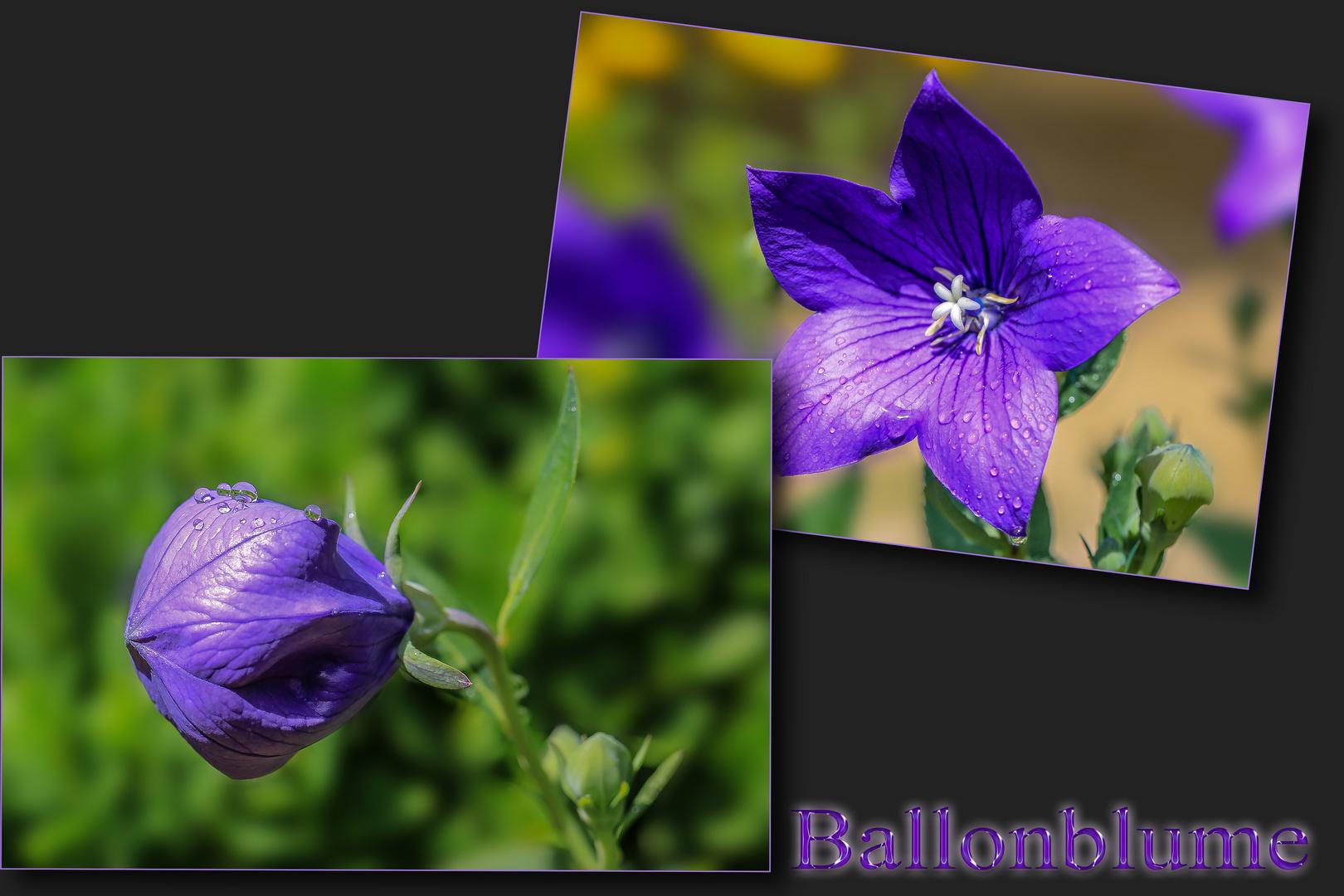 Den Namen hat die Blume nach der Form der Knospe