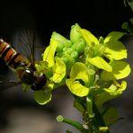 Den Pollen des Senfs scheint die Schwebfliege auch zu mögen!
